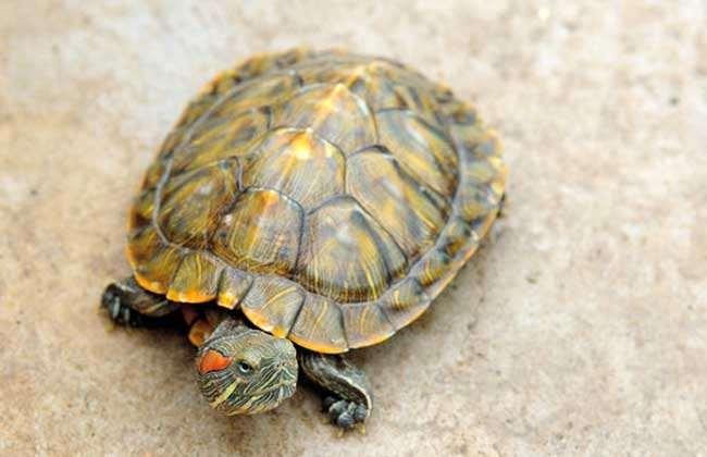 巴西龟可以干养吗