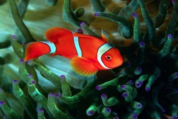 小丑鱼可以用淡水养吗