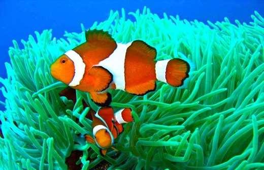 小丑鱼好养吗