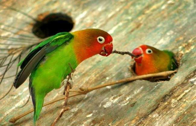 牡丹鹦鹉繁殖方法