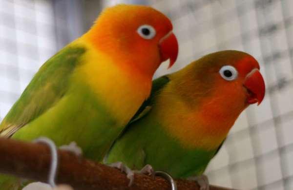 家养牡丹鹦鹉怎么繁殖?