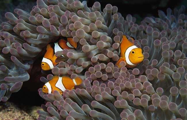 小丑鱼的资料