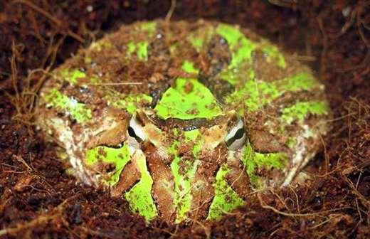 霸王角蛙寿命有多长