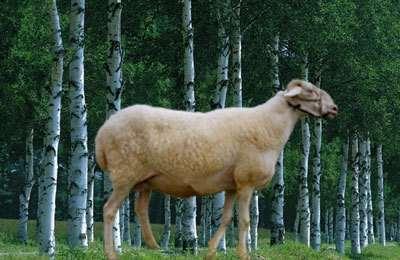 小尾寒羊适合圈养吗