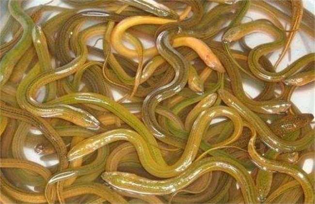 黄鳝 养殖 技术