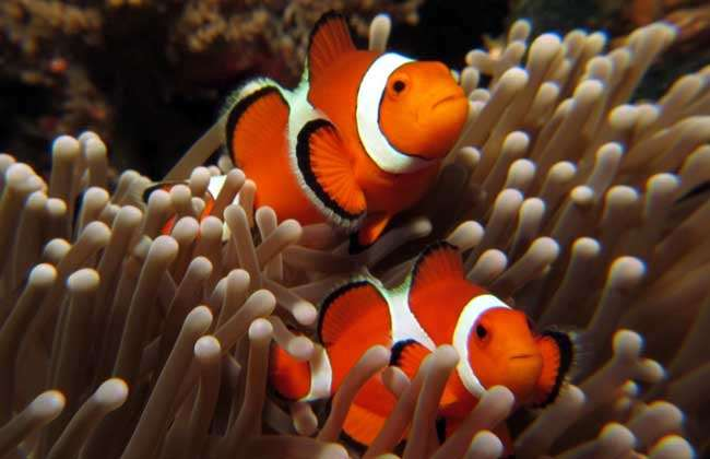 小丑鱼吃什么