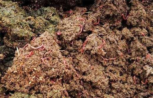 猪粪 蚯蚓 养殖技术