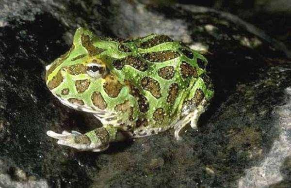 请问角蛙的寿命是多少年